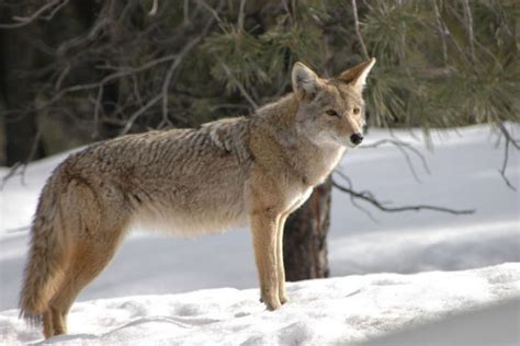 facts about coyote cubs apexwallpapers com coyote facts and pictures wolves wolf facts cougars