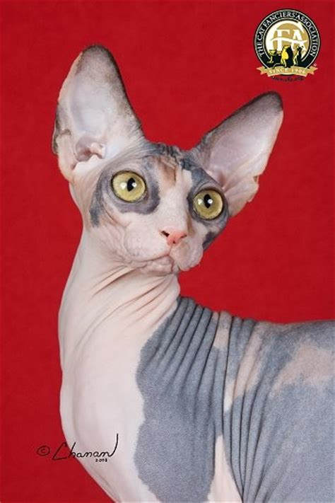 Breed Profile: The Sphynx