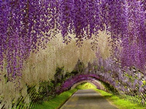 japan wisteria tunnel wisteria tunnel copilot gps north america blog