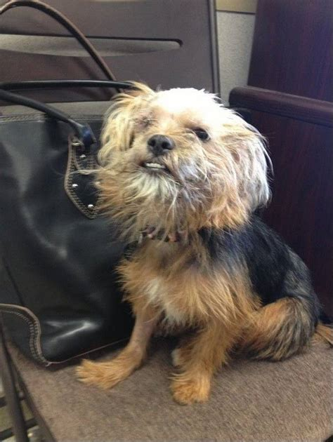yorkie bleeding from abandoned yorkie goes from tragedy to courage