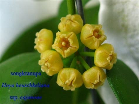 hoya new year hooked on hoya cubit general chat forum january blooms