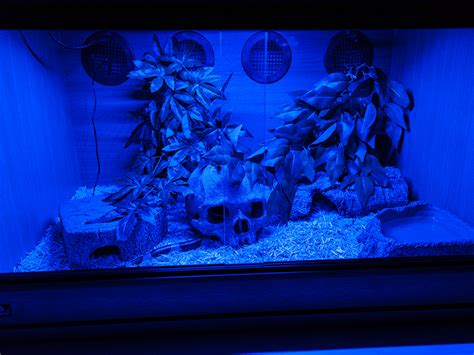 led lights for snake tank blue or red led night light reptile forums sneks