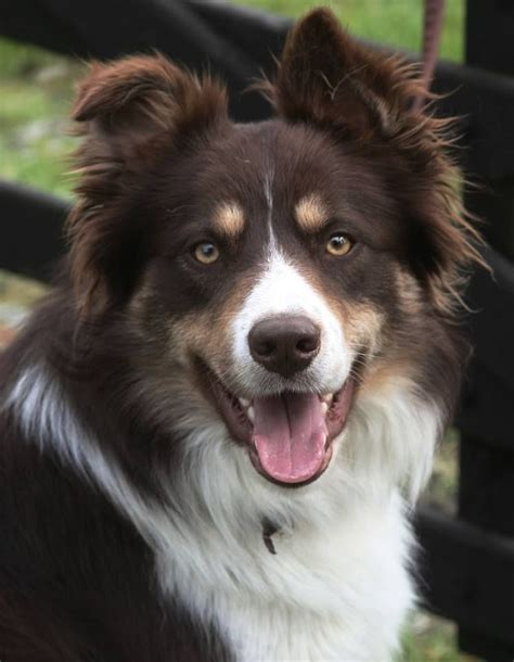 collie dogs tri colour border collie barton upon humber lincolnshire pets4homes