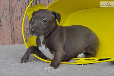 greyhound puppy price italian greyhound puppies ckc registered price 350 19091577jpg breeds picture