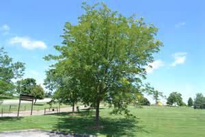skyline honeylocust is a hardy shade tree that tolerates