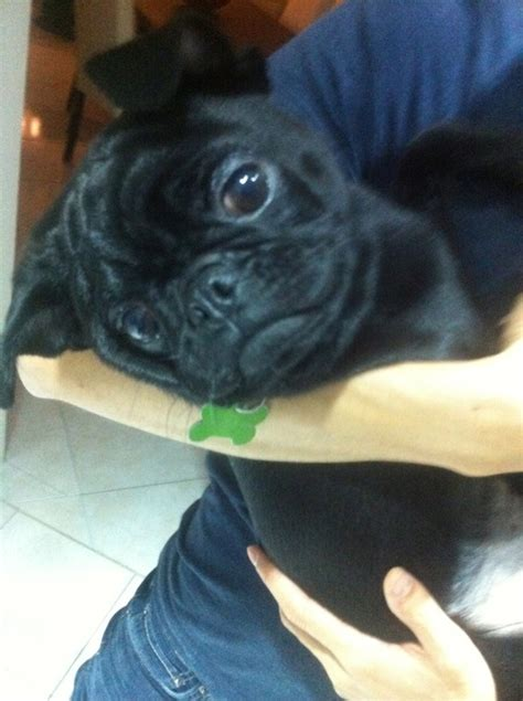 pugs not hugs 1000 images about pugs are just on pug a pug and posts