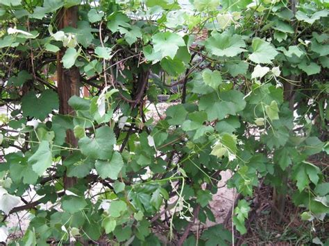 Potatura Uva Fragola potatura uva fragola enologia