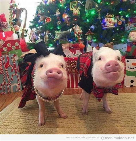 imagenes chistosas de cerdos en navidad m 225 s animales 161 qu 233 animalada fotos v 237 deos y gifs de
