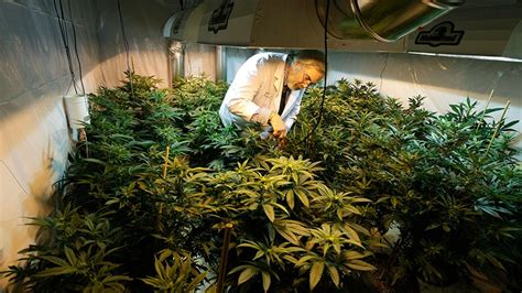 cannabis grow room b c activists cheer washington pot vote ctv news
