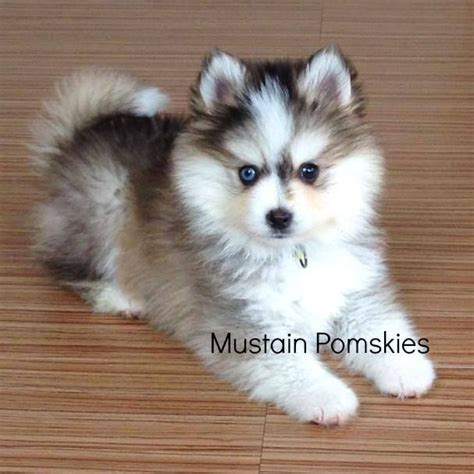 pictures of pomsky puppies 25 best ideas about pomsky puppies on pomsky pomsky pictures and