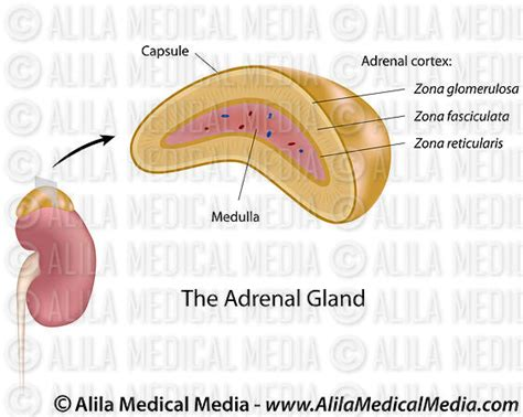 adrenal gland diagram alila media the adrenal gland illustration