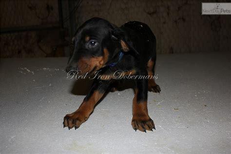 doberman puppies for sale near me doberman pinscher for sale for 550 near provo orem utah 7b5a2038 1781