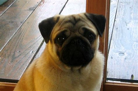 pennwood pugs resources