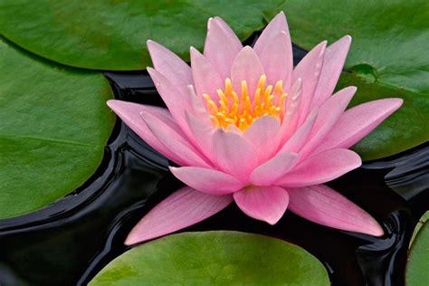 lotus flower in the lotus flower grows in still water by