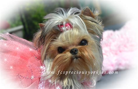 doll yorkies babydoll faced yorkies vancouver canada