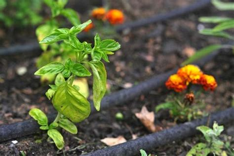 plants that repel aphids japanese beetles companion planting and moth on