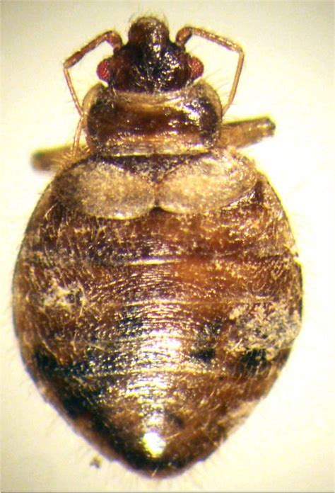 bugs that resemble bed bugs picture of bed bug