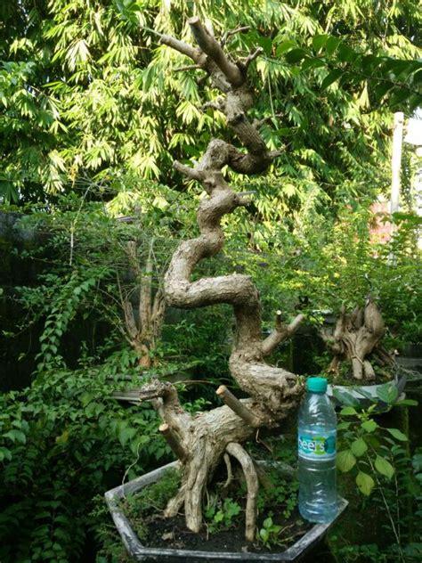Jual Bakalan Bonsai Sancang 292 sancang jual bonsai murah pohon tanaman