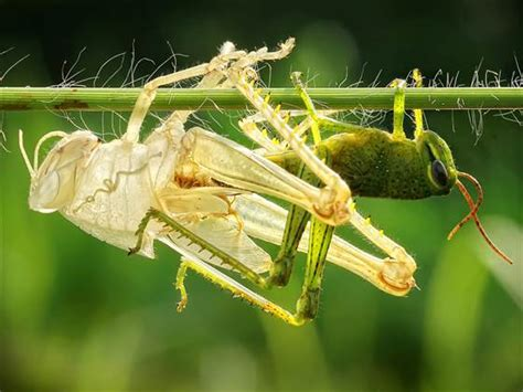 Shedding Of The Exoskeleton by Grasshopper Sheds Skin In A Replica Today
