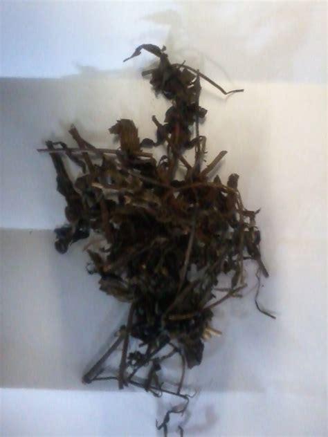 Kumis Kucing Remujung Bubuk 1 Kg manfaat ramuan herbal daun remujung atau kumis kucing orthosiphon stamineus benth jamu jawa