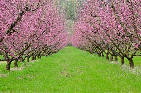 alberi da giardino fioriti alberelli da giardino fioriti la primavera nel