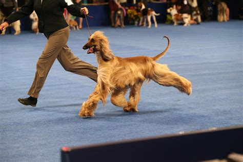 show dogs meet the national show winner who might inspire some puppy news