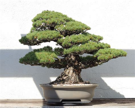 old bonsai tree this incredible 390 year old bonsai tree survived an