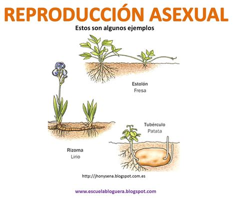 imagenes de flores que se reproducen asexualmente ciencias naturales la reproducci 211 n en las plantas