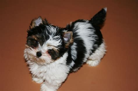 www yorkies 7 types of adorable yorkie puppies 187 teacupdogdaily