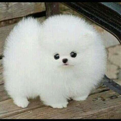 hypoallergenic dogs pomeranian 1000 images about options on yorkie yorkie and hypoallergenic