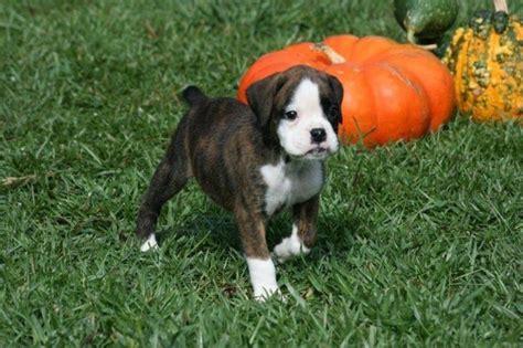6 week boxer puppy 6 week boxer puppy boxers