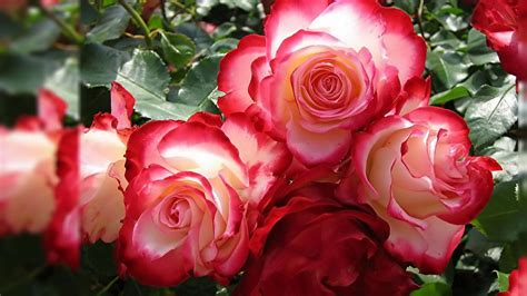 themes of rose wallpapers for gt 3d rose live wallpaper wallpapers
