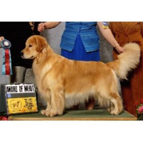 golden retriever rescue south dakota golden retrievers in south dakota akc golden retriever puppies breeds picture