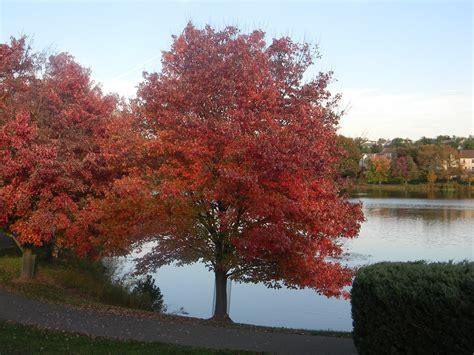 maple tree history horsedvm toxic plants for horses maple