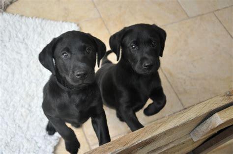 puppy black beautiful black labrador puppy lymington hshire pets4homes