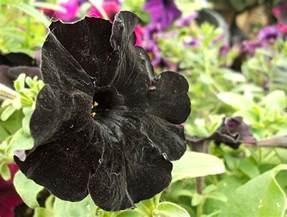 black flower black flower by winonakrohn on deviantart