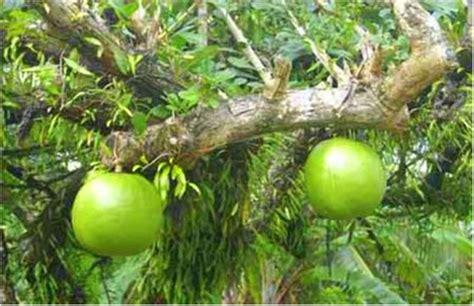 guyana fruit trees the amazing calabash of guyana by dmitri allicock