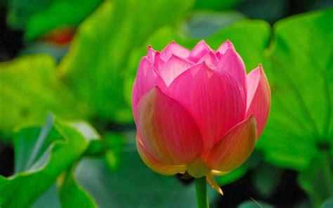 imagenes lindas de flores fotos de flores bonitas gratis para fondo de pantalla en