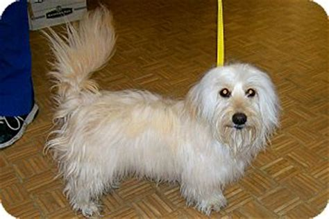 havanese dachshund mix havanese dachshund mix breeds picture