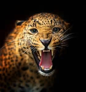 Can Jaguars Roar Jaguar Growling Panther Canvas Print By