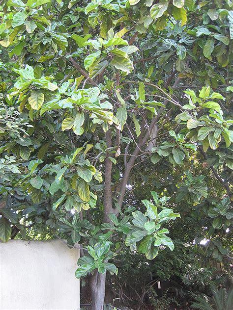 fiddle leaf fig ficus lyrata  richmond fairfax loudoun