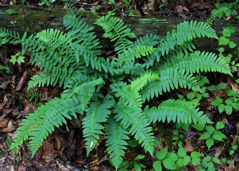 christmas fern for sale 5 99 shipped to you