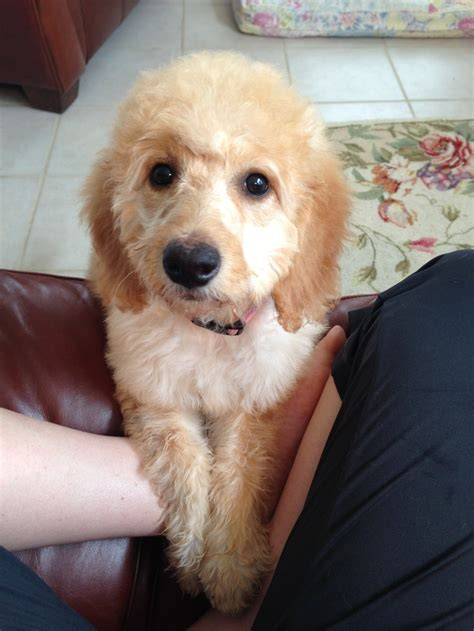 goldendoodle haircut pictures haircut goldendoodle our little goldendoodle pinterest