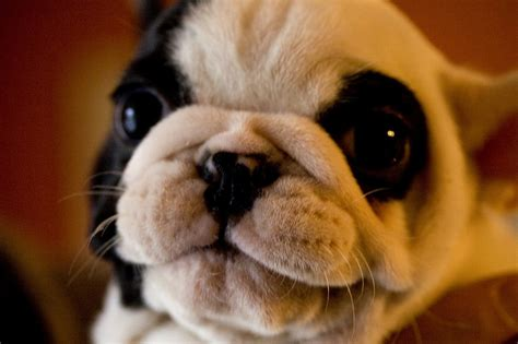 pugs and show the pug from emperors to best in show