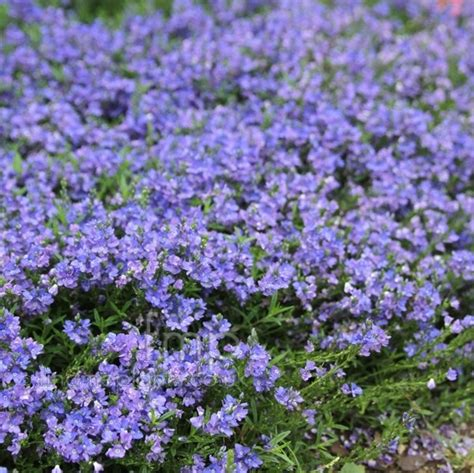 arbusti con fiori arbusti sempreverdi piante da giardino caratteristiche