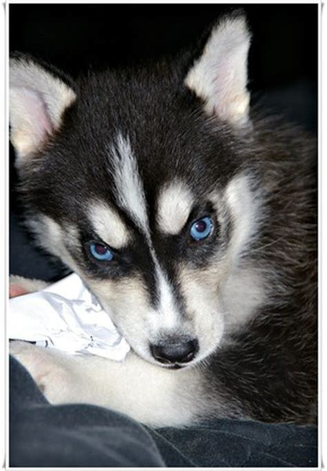 puppy eye color how to determine eye color in husky puppies care