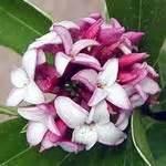 fragrant plants  southern gardens