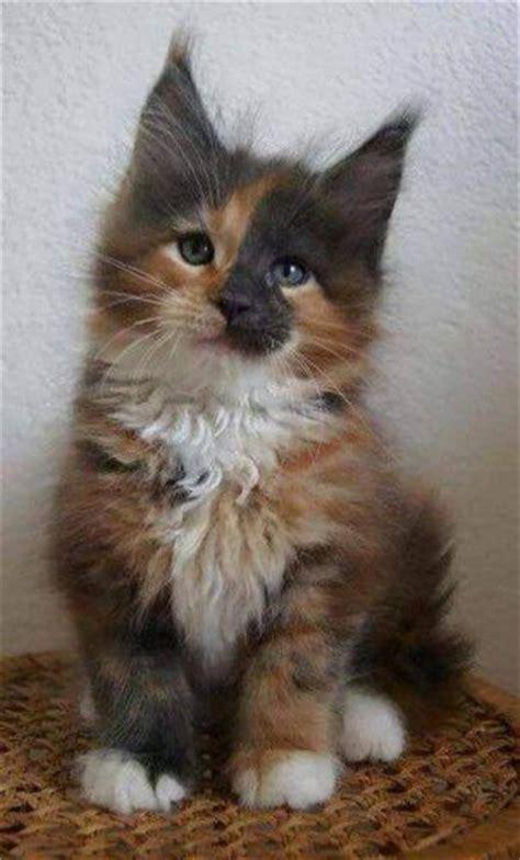 meet mezzomixx   unusual male tortie  conscious cat