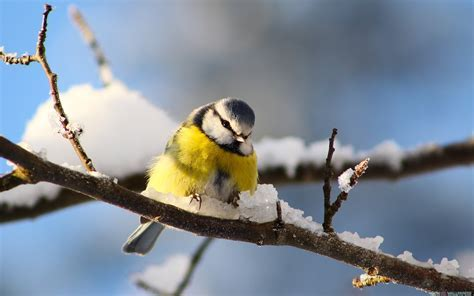 Bird Branch Snow HD Wallpaper