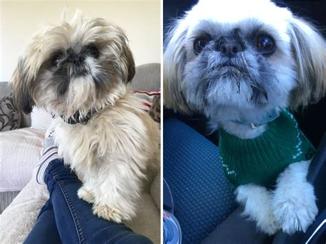 teacup shih tzu for adoption teacup shih tzu abergele conwy pets4homes